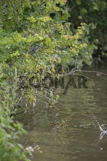 im Ufergebüsch... Eisvogel *Alcedo atthis*