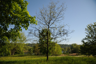 Quercus robur, Stieleiche, German oak, Austrieb, Blüten, young shoots, flowers