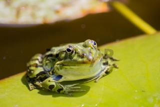 Nahansicht von einem Frosch auf einem Blatt