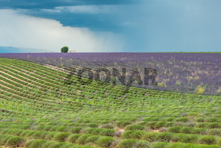 Dark thundercloud and rain above a colorful lavender field