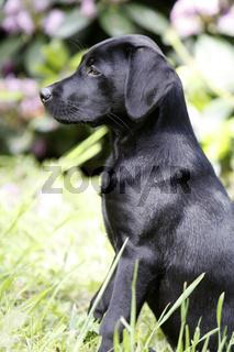 Schwarzer Labrador Retriever Welpe