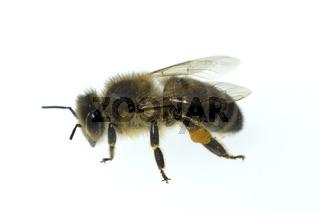 Biene; Apis; mellifera; Honigbiene; Insekt