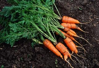 Karotten, Daucus carota subsp. sativus, Moehre, Gelbruebe, Gelbe Ruebe