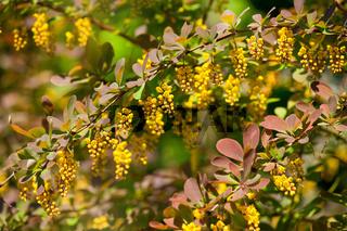 Berberis yellow flowers twig