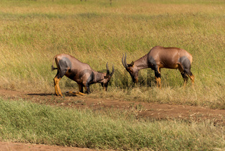 fighting topi antelopes