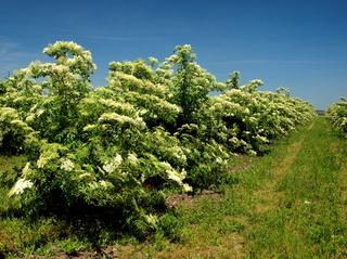 Plantage mit Holunderbüschen