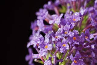 Blüte von Buddleja davidii  ### blossom of Buddleja davidii
