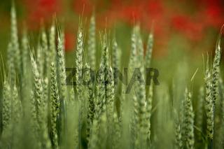Weizenfeld im Fruehling mit Mohnblumen