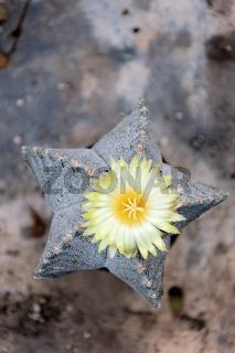 Bischhofsmütze (Astrophytum myriostigma) mit Blüte