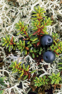 Schwarze Kraehenbeere die Beeren sind essbar - (Kraehenbeere) / Crowberry has edible fruits - (Black Crowberry - Blackberry) / Empetrum nigrum