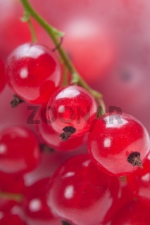 Red currant, macro shot