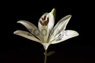 lilie; hybride; lilien
