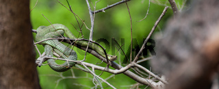 Poisonous Green snake sitting on a branch