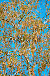 Birch Covered with Catkins