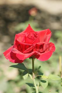 Rosa Erotika, Edelrose, Hybrid-rose