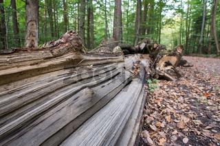Holz vom Baumstamm