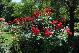 Rosa Getano, Strauchrose, Shrub rose