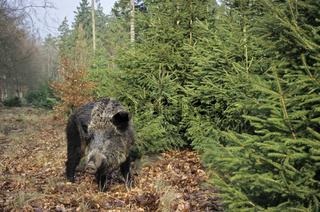 Wildschweinbache sucht am Waldrand nach Nahrung - (Schwarzwild - Schwarzkittel) / Wild Boar sow searching for food at a forest edge - (Wild Hog - Feral Pig) / Sus scrofa
