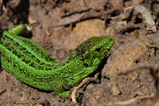 Green lizard stalking among stones, fallen leaves and twigs, side twist view