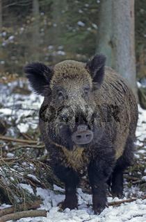 Wildschweinkeiler im Schnee sucht entspannt nach Nahrung - (Schwarzkittel - Wildschwein) / Wild Boar tusker in snow searching for food - (Wild Hog - Feral Pig) / Sus scrofa