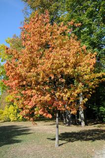 Quercus rubra, Amerikanische Roteiche