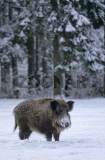 Wildschweinueberlaeufer im Winter steht sichernd auf einer Waldwiese - (Wildschwein - Schwarzwild) / Young Wild Boar in winter standing observing on a forest meadow - (Feral Pig - Wild Boar) / Sus scrofa