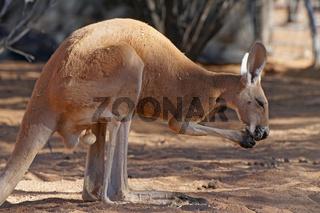 Red Kangaroo, Australien