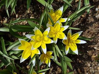 Tarda; Botanische, Tulpe