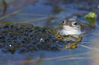 Male Moor Frog, Rana arvalis