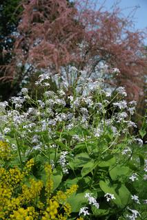 Lunaria rediviva, Wildes Silberblatt, Honesty