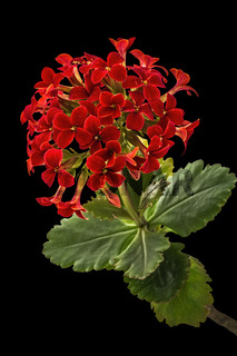 Flower Kalanchoe, tropical succulent, isolated on black background