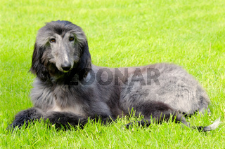 Typical black Afghan Hound on a green grass lawn
