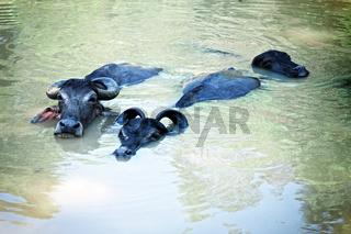 Three black buffalo swimming