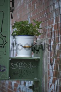Urban Gardening, Bio Liebstöckel