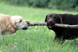 Labrador und Golden Retriever