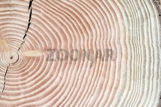 Jahresringe; Jahrring; Holzring;
