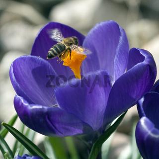 Biene; Anflug; Krokus; Apis; mellifera