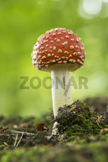 colourful red/white Fly Agaric