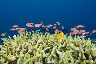 Juwelen-Fahnenbarsche am Riff, Salomonen