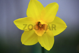 Osterglocke, gelb klein, narcissus, daffodil