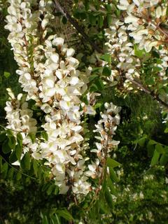 Robinia white tree inflorescence