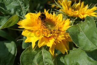 Helianthus annuus, Vielblütige Sonnenblume