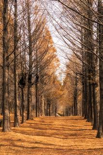 metasequoia road in seoul
