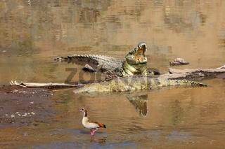 crocodiles at the masai mara national park south africa