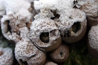 Birnenstäublinge im Schnee