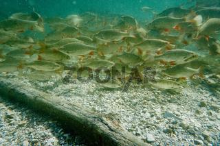 Fische in einem Bergsee