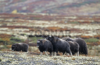 Moschusochsenkuh  Kaelber spielen in der herbstlich verfaerbten Tundra - (Bisamochse - Schafsochse) / Cow Muskox  calf playing in the autumnally tundra - (Musk Ox - Musk-Ox) / Ovibos moschatus