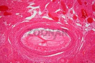 Eierstockgewebe unter dem Mikroskop