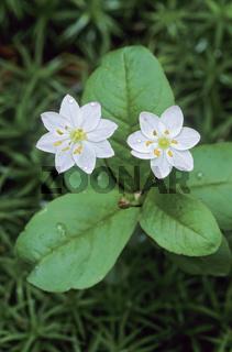 Siebenstern sein Name bezieht sich auf die Bluete mit sieben Bluetenblaettern - (Europaeischer Siebenstern) / Chickweed-Wintergreen is in England classified as an endangered plant in some areas - (Arctic Starflower) / Trientalis europaea