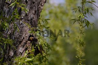 Singvogel Star füttert Junge im Nest - Nahaufnahme